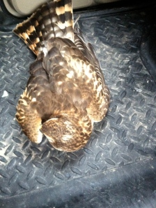 Female or Juvenile Northern Harrier