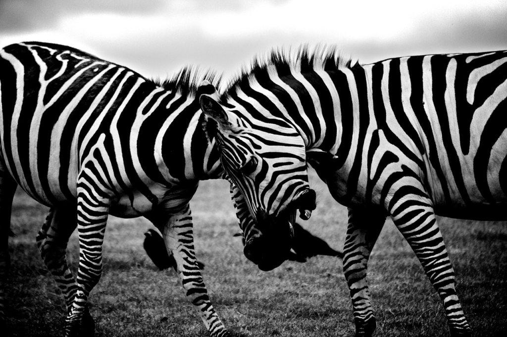 zebras atozmomm.com