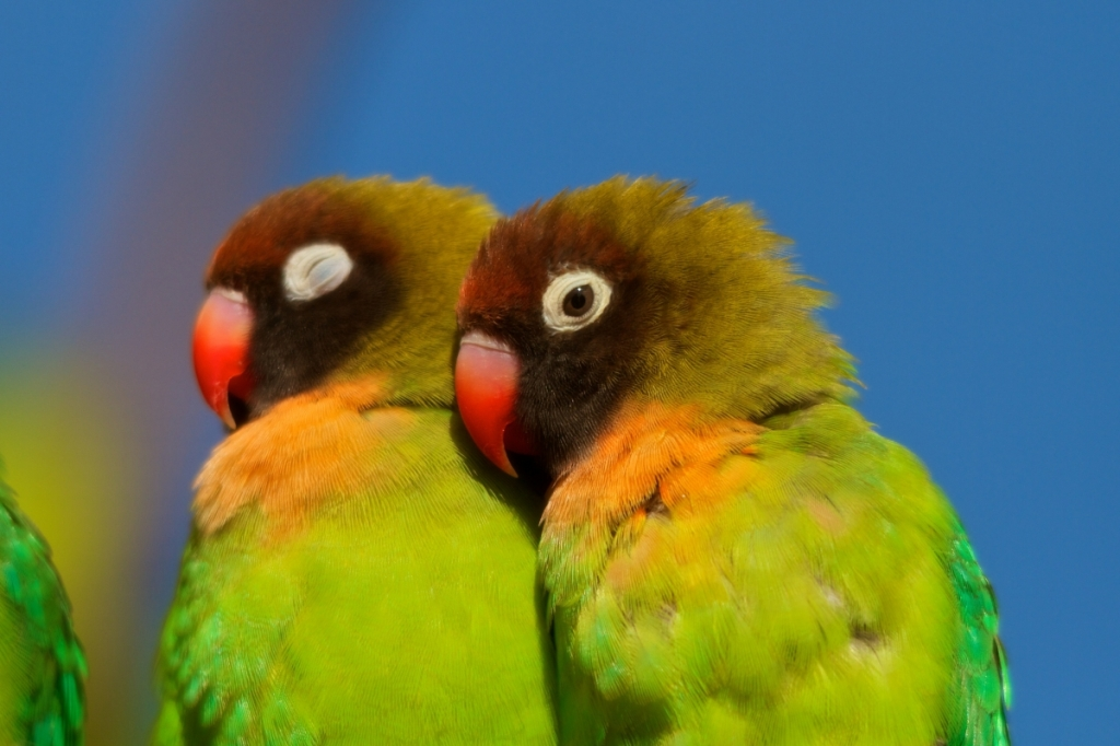 lovebirds www.atozmomm.com