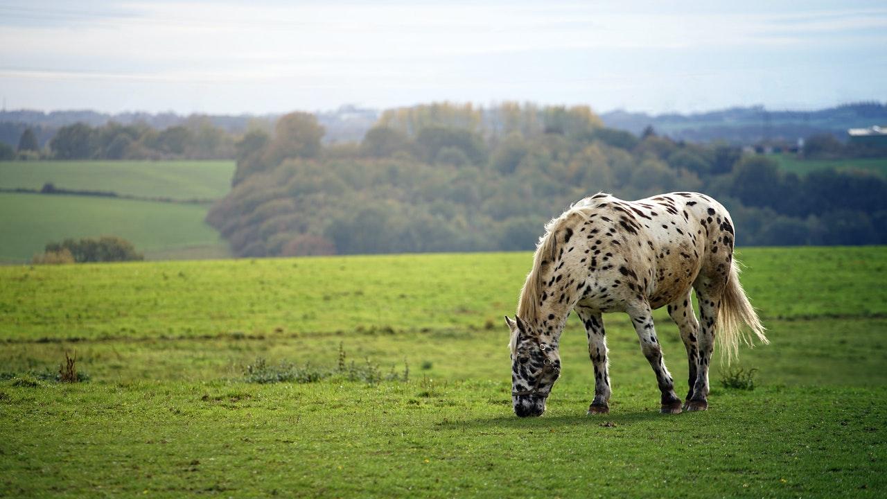 jacob uses selective breeding for spots genesis 30 www.atozmomm.com