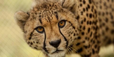 cheetah www.atozmomm.com